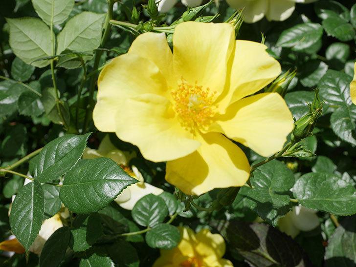 リモンチェッロ(Limoncel)の花がたくさん咲いた。半ツルバラ。2021年-038.jpg