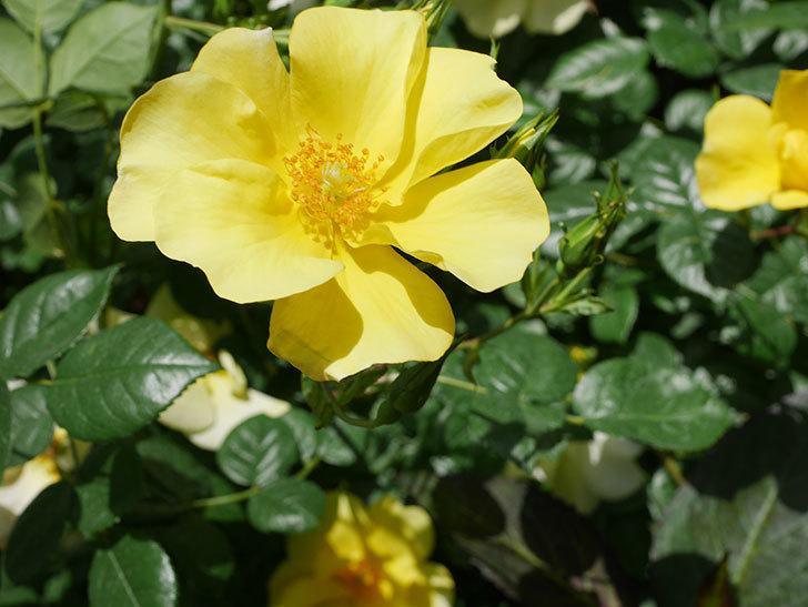 リモンチェッロ(Limoncel)の花がたくさん咲いた。半ツルバラ。2021年-039.jpg