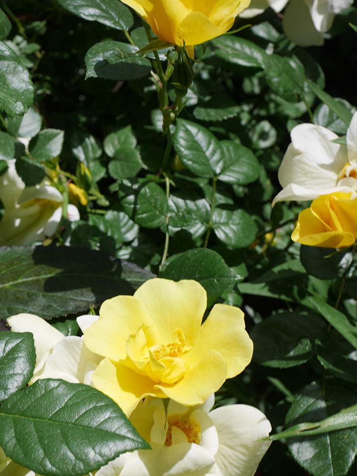 リモンチェッロ(Limoncel)の花がたくさん咲いた。半ツルバラ。2021年-040.jpg