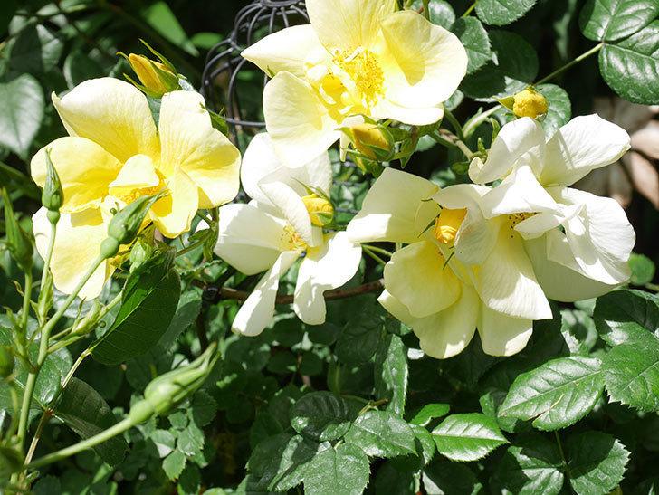 リモンチェッロ(Limoncel)の花がたくさん咲いた。半ツルバラ。2021年-041.jpg