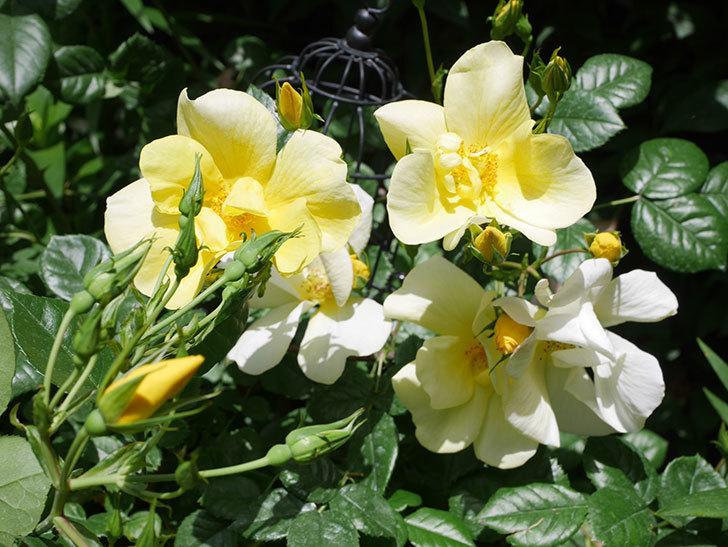 リモンチェッロ(Limoncel)の花がたくさん咲いた。半ツルバラ。2021年-042.jpg