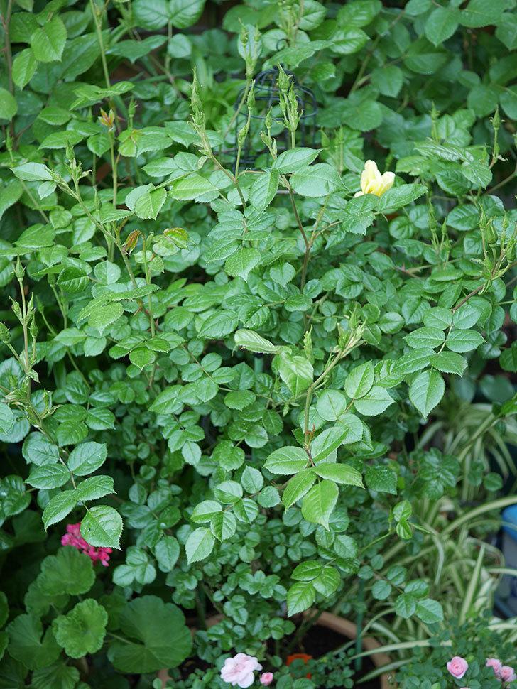 リモンチェッロ(Limoncel)の花が咲いた。半ツルバラ。2021年-001.jpg