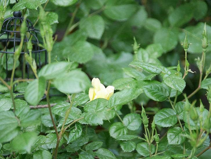 リモンチェッロ(Limoncel)の花が咲いた。半ツルバラ。2021年-017.jpg