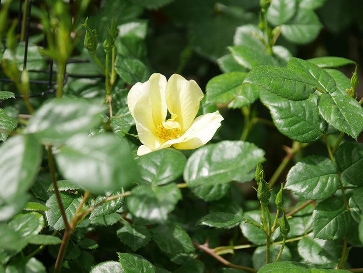 リモンチェッロ(Limoncel)の花が咲いた。半ツルバラ。2021年-019.jpg