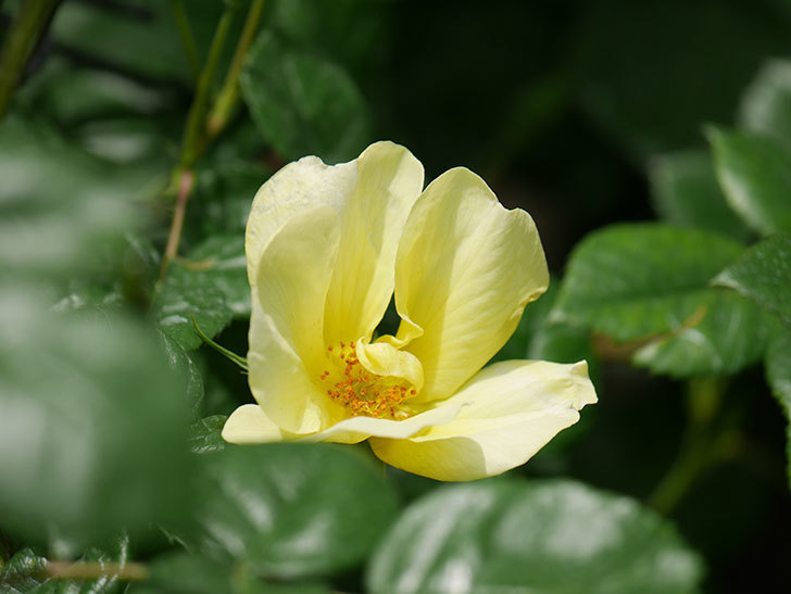 リモンチェッロ(Limoncel)の花が咲いた。半ツルバラ。2021年-022.jpg