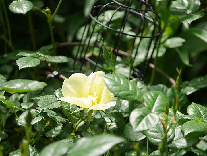 リモンチェッロ(Limoncel)の花が咲いた。半ツルバラ。2021年-023.jpg