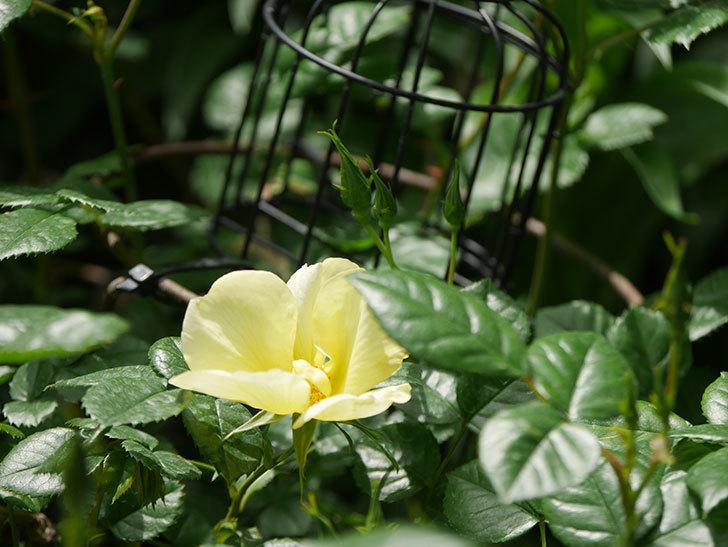 リモンチェッロ(Limoncel)の花が咲いた。半ツルバラ。2021年-025.jpg