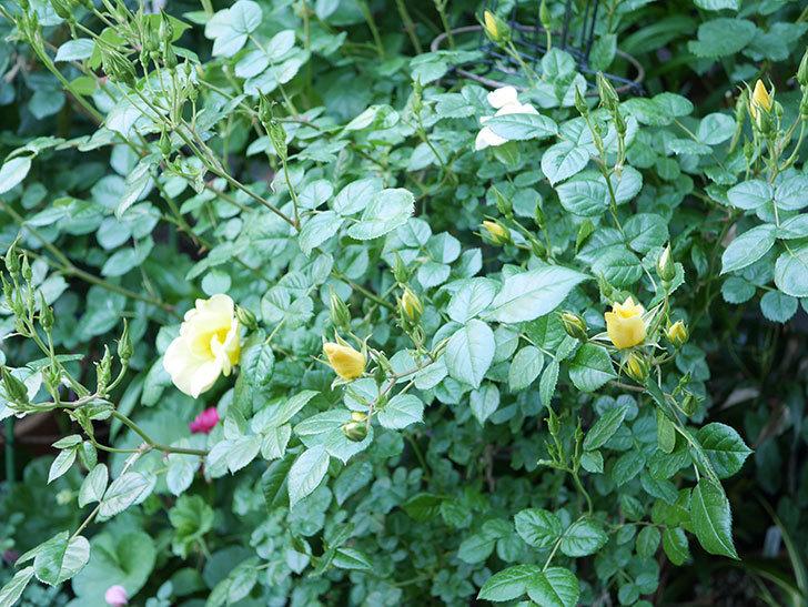 リモンチェッロ(Limoncel)の花が増えてきた。半ツルバラ。2021年-021.jpg