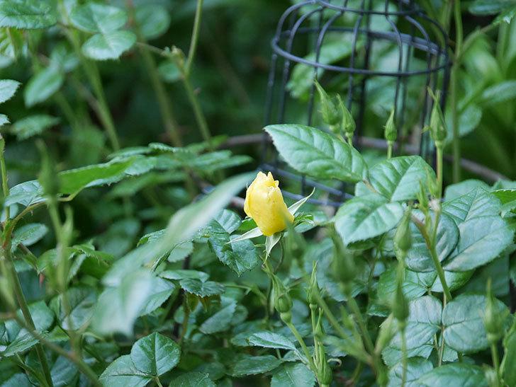 リモンチェッロ(Limoncel)の花が少し咲いた。半ツルバラ。2021年-001.jpg