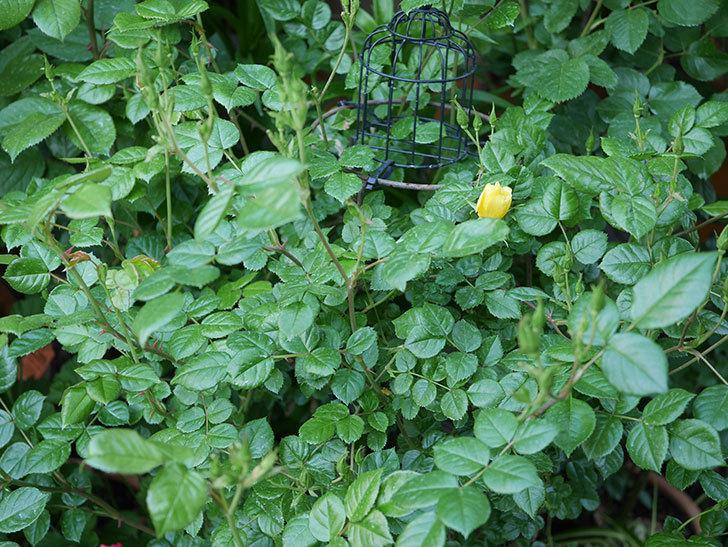 リモンチェッロ(Limoncel)の花が少し咲いた。半ツルバラ。2021年-004.jpg