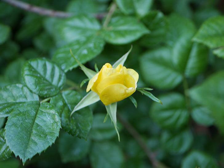 リモンチェッロ(Limoncel)の花が少し咲いた。半ツルバラ。2021年-005.jpg
