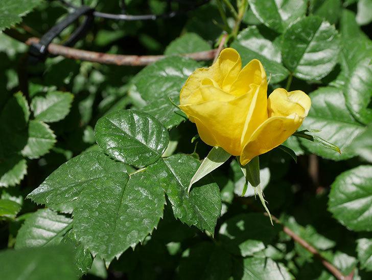 リモンチェッロ(Limoncel)の花が少し咲いた。半ツルバラ。2021年-009.jpg