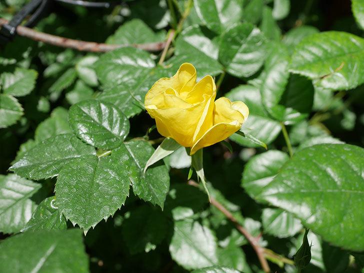リモンチェッロ(Limoncel)の花が少し咲いた。半ツルバラ。2021年-011.jpg