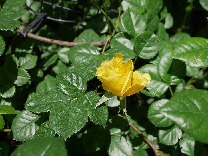 リモンチェッロ(Limoncel)の花が少し咲いた。半ツルバラ。2021年-012.jpg
