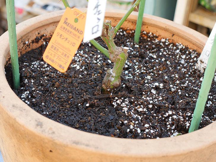 リモンチェッロ(Limoncel)を植え替えてからオベリスクに誘引をした。半ツルバラ。2021年-012.jpg
