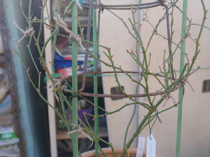 リモンチェッロ(Limoncel)を植え替えてからオベリスクに誘引をした。半ツルバラ。2021年-022.jpg