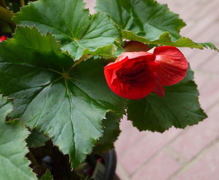 リーガースベゴニア-バルコスが咲いた。2016年-4.jpg