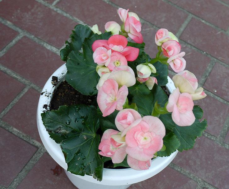 リーガーベゴニアを鉢に植えた1.jpg