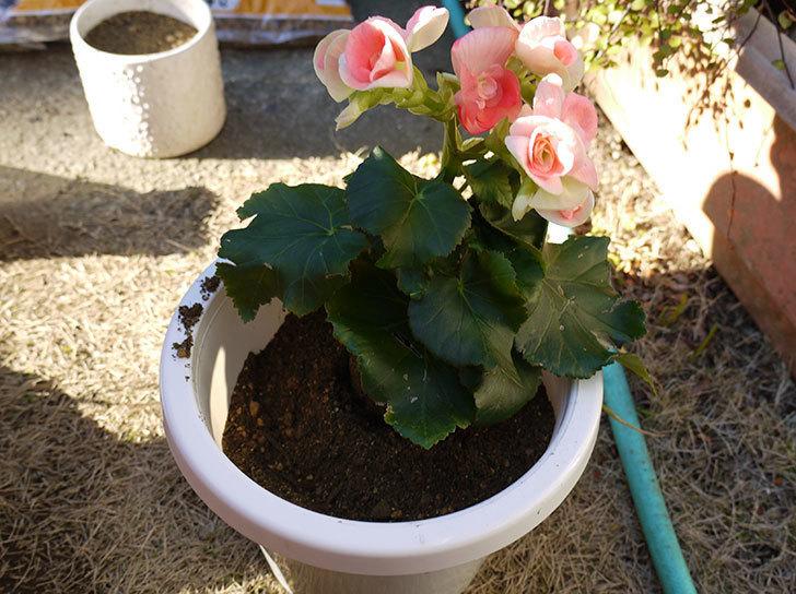リーガーベゴニアを鉢に植えた2.jpg