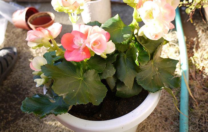 リーガーベゴニアを鉢に植えた4.jpg