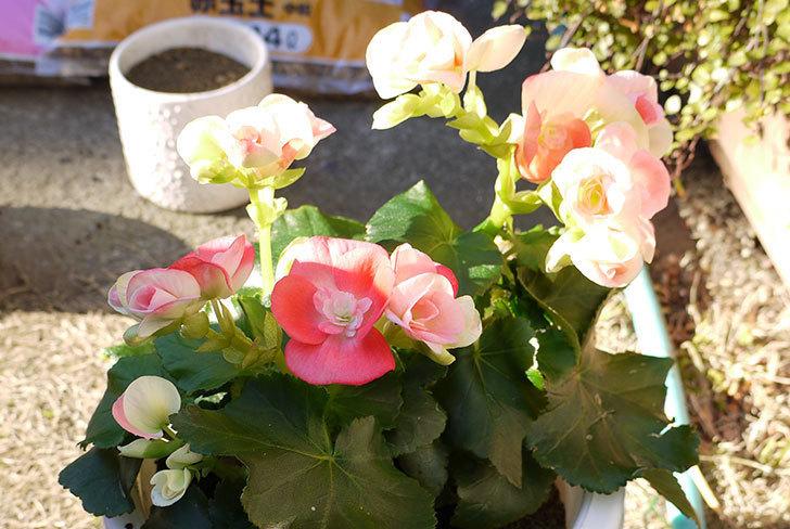リーガーベゴニアを鉢に植えた5.jpg