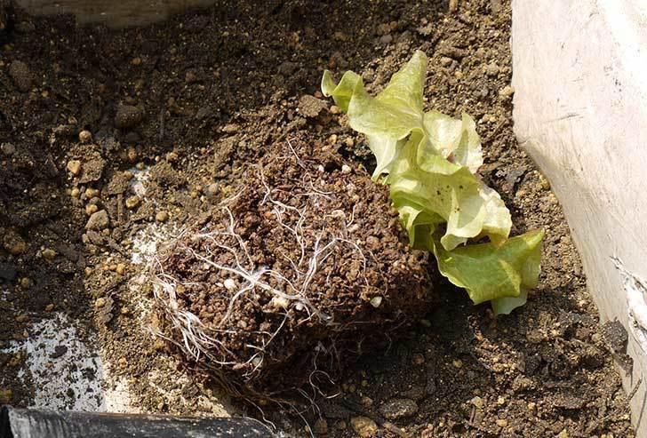 リーフレタスの苗をプランターに植えた。2015年-2.jpg
