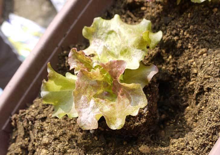 リーフレタスの苗をプランターに植えた。2015年-3.jpg