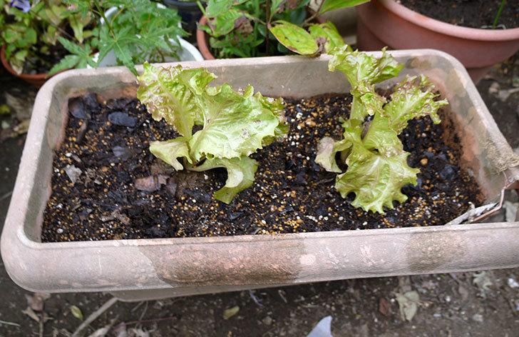 リーフレタスの苗をプランター植えた2.jpg