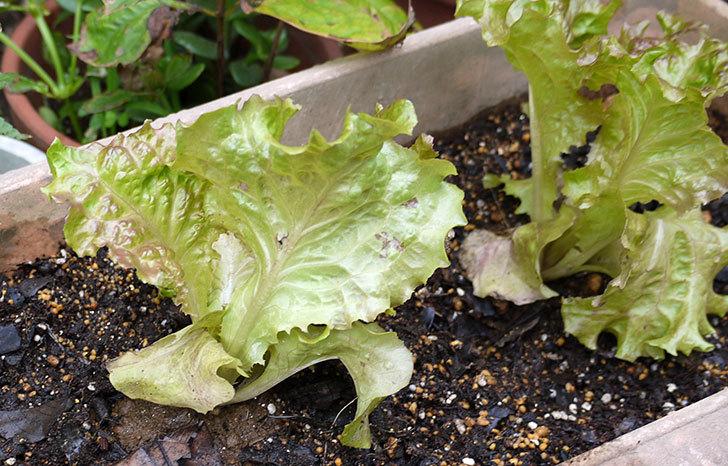 リーフレタスの苗をプランター植えた3.jpg