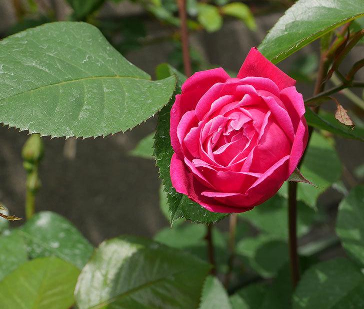 ルイフィリップ(木立バラ)に3個目の花が咲いた。2020年-1.jpg