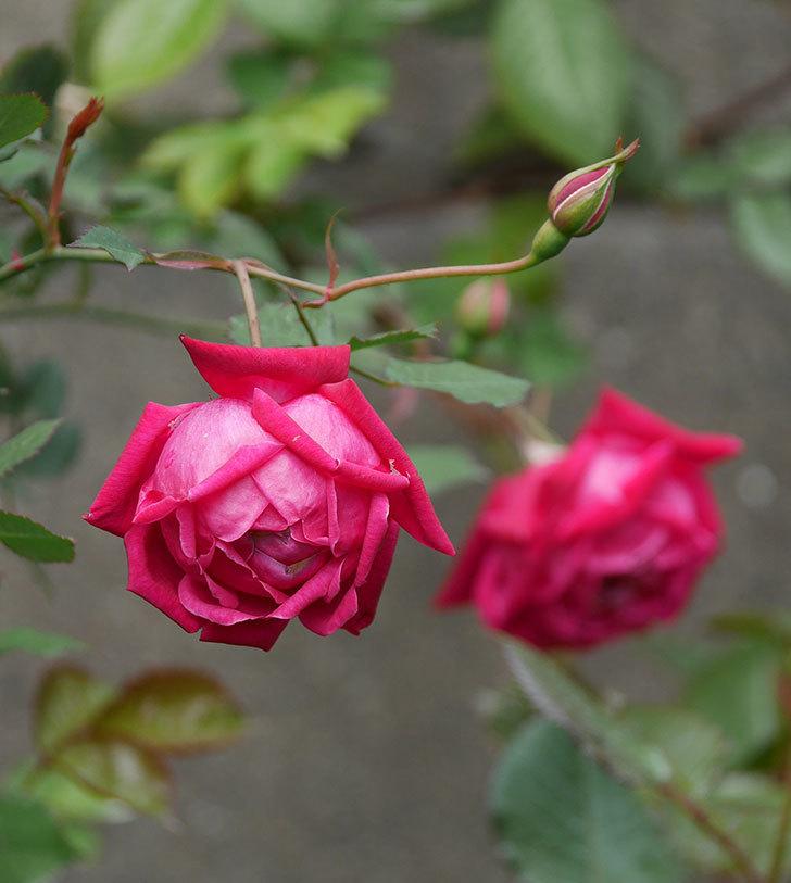 ルイフィリップ(木立バラ)に3個目の花が咲いた。2020年-10.jpg