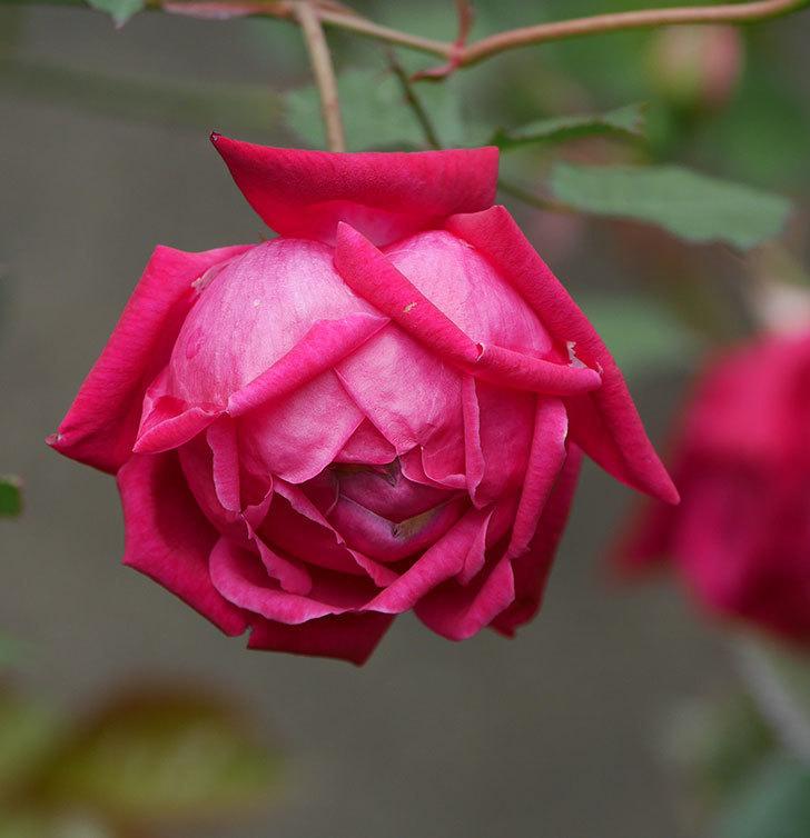 ルイフィリップ(木立バラ)に3個目の花が咲いた。2020年-11.jpg