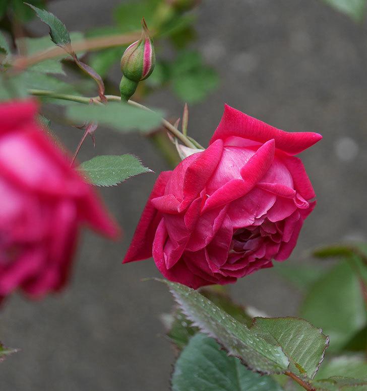 ルイフィリップ(木立バラ)に3個目の花が咲いた。2020年-12.jpg