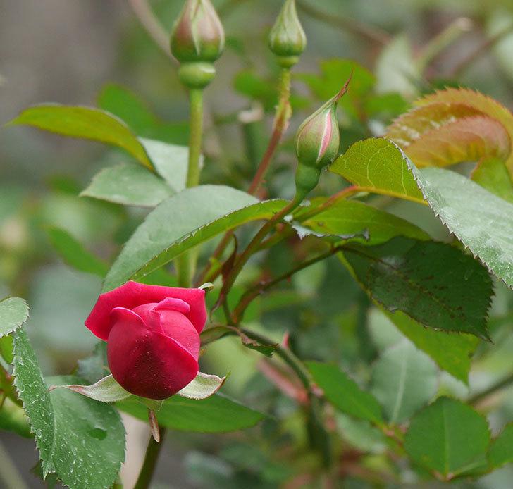 ルイフィリップ(木立バラ)に3個目の花が咲いた。2020年-14.jpg