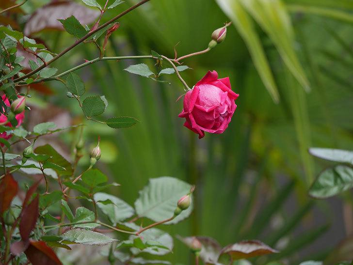 ルイフィリップ(木立バラ)に3個目の花が咲いた。2020年-15.jpg