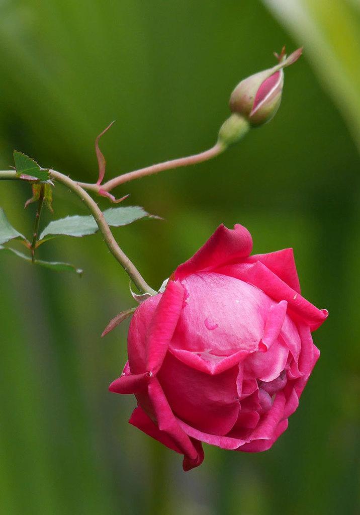ルイフィリップ(木立バラ)に3個目の花が咲いた。2020年-16.jpg