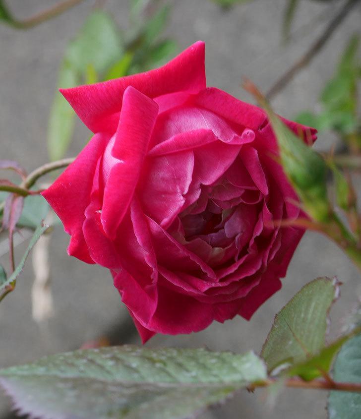 ルイフィリップ(木立バラ)に3個目の花が咲いた。2020年-19.jpg