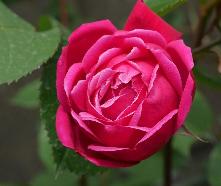 ルイフィリップ(木立バラ)に3個目の花が咲いた。2020年-2.jpg