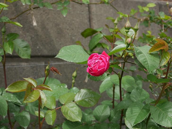 ルイフィリップ(木立バラ)に3個目の花が咲いた。2020年-3.jpg
