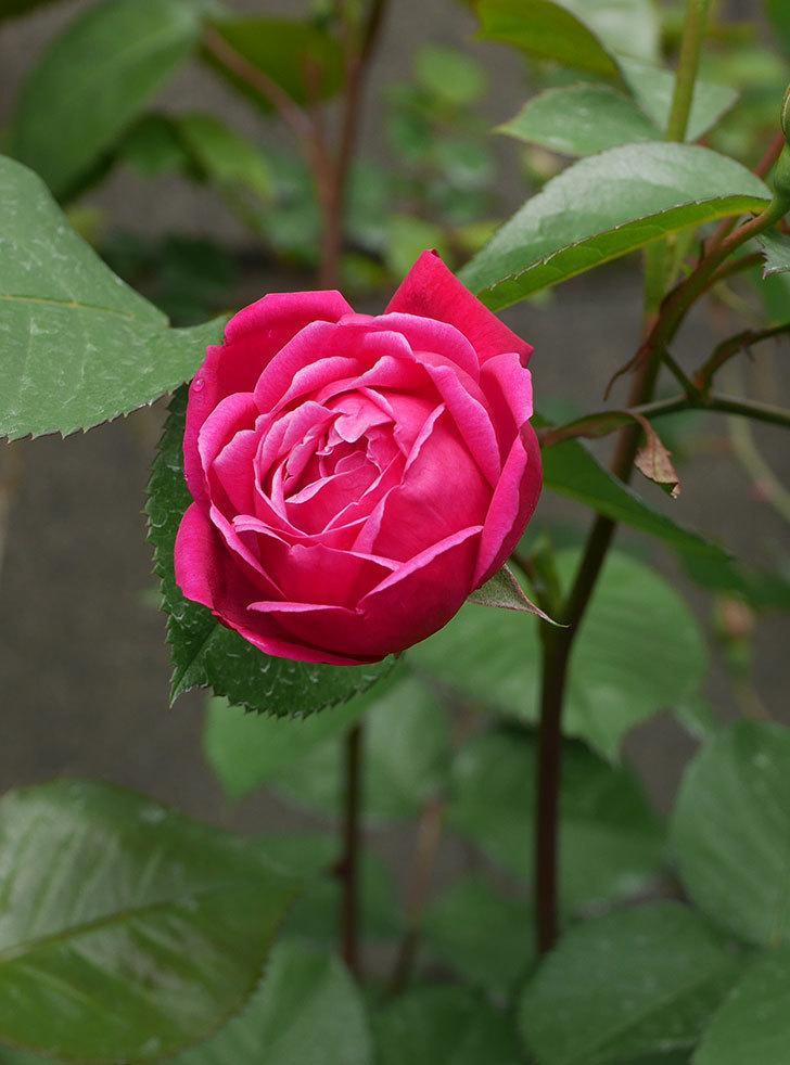 ルイフィリップ(木立バラ)に3個目の花が咲いた。2020年-4.jpg