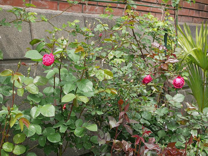 ルイフィリップ(木立バラ)に3個目の花が咲いた。2020年-5.jpg