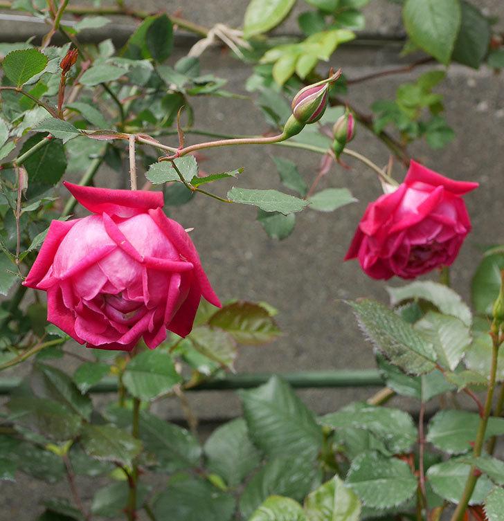 ルイフィリップ(木立バラ)に3個目の花が咲いた。2020年-6.jpg
