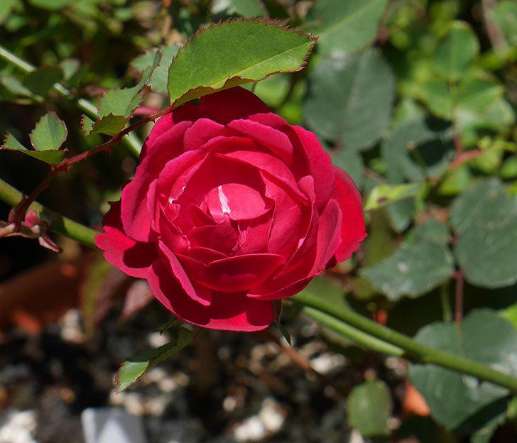 ルイフィリップ(木立バラ)に最初の花が咲いた。2019年-1.jpg