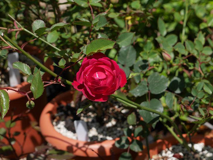 ルイフィリップ(木立バラ)に最初の花が咲いた。2019年-2.jpg