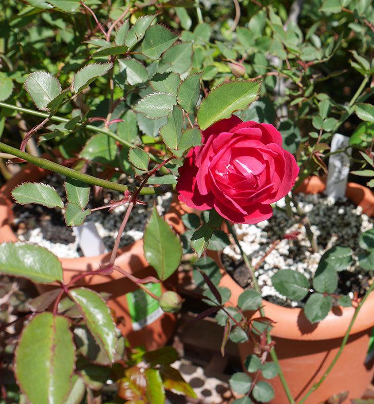 ルイフィリップ(木立バラ)に最初の花が咲いた。2019年-3.jpg