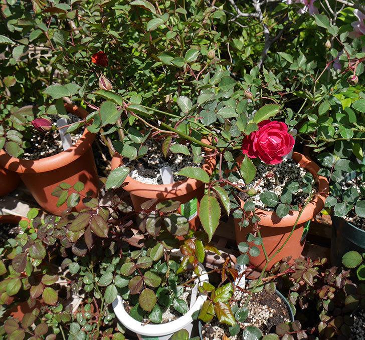 ルイフィリップ(木立バラ)に最初の花が咲いた。2019年-4.jpg