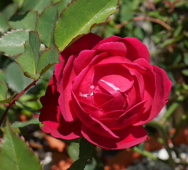ルイフィリップ(木立バラ)に最初の花が咲いた。2019年-5.jpg