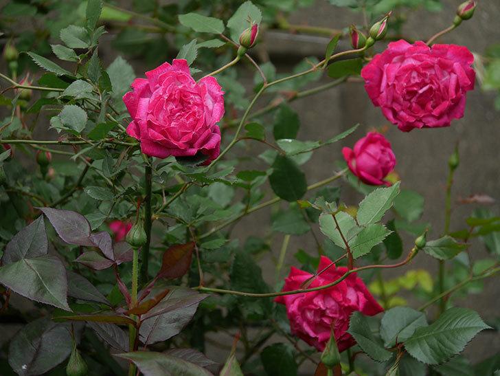 ルイフィリップ(木立バラ)に花がたくさん咲いた。2020年-10.jpg