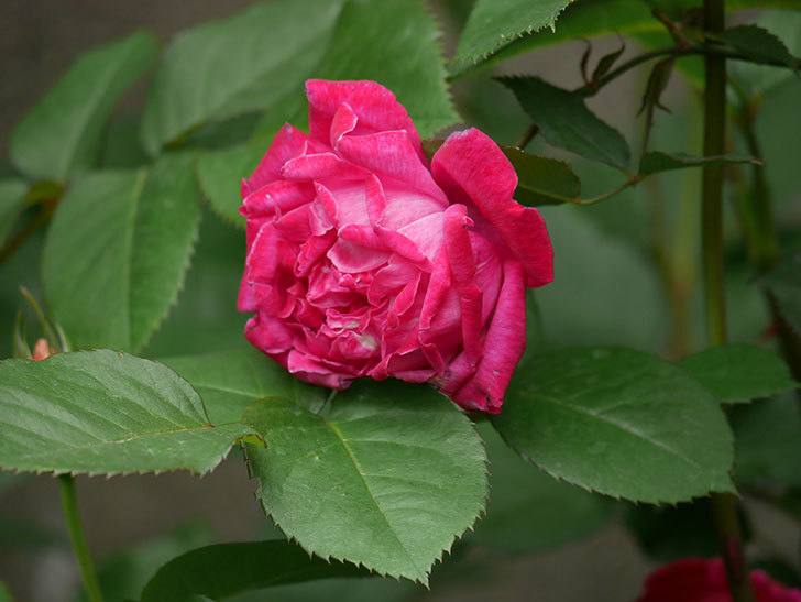 ルイフィリップ(木立バラ)に花がたくさん咲いた。2020年-11.jpg