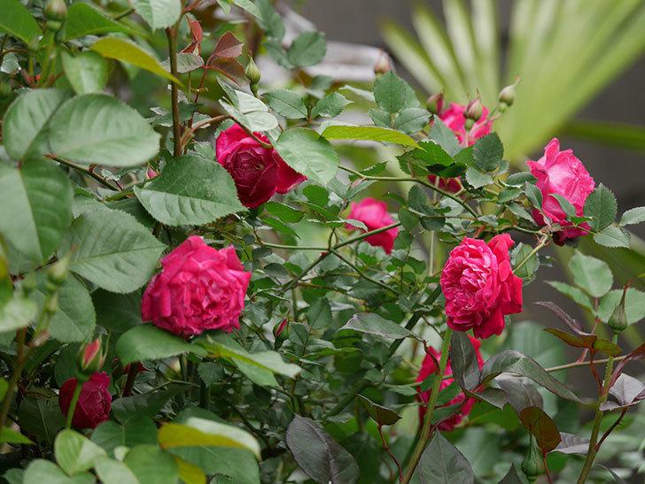 ルイフィリップ(木立バラ)に花がたくさん咲いた。2020年-12.jpg